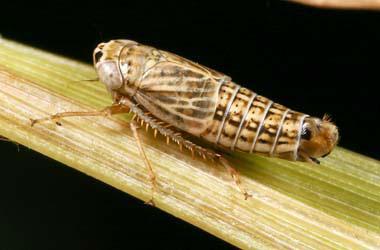Athysanella incongrua (leafhopper)